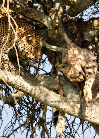 Leopard Kills Cheetah in the Mara and Hoists it up a Tree