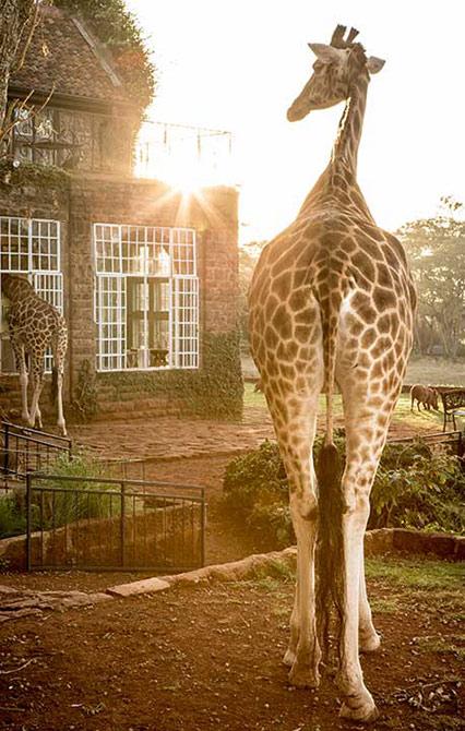 GIRAFFE MANOR - The Safari Collection