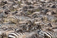 The-Safari-Collection-wildebeest-and-zebra-at-salas-camp