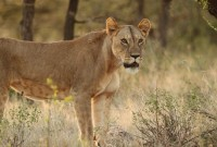 The-Safari-Collection-Lion-near-Sasaab