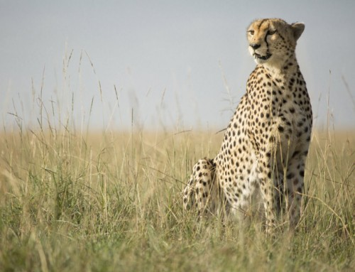 THE MARA CHEETAH PROJECT