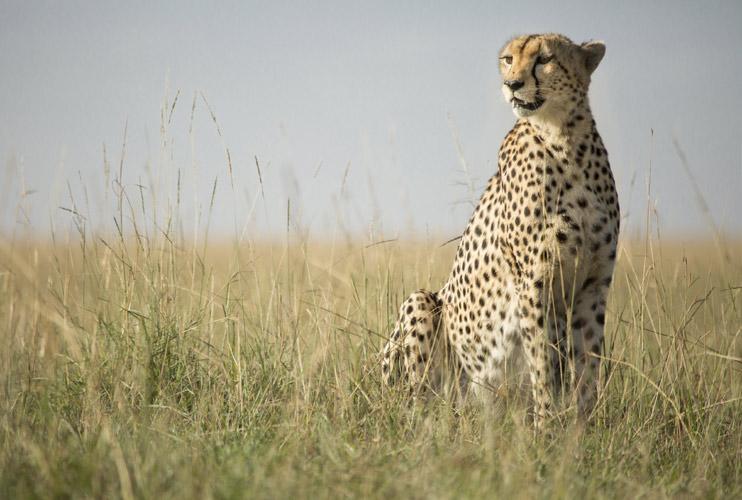 THE MARA CHEETAH PROJECT - The Safari Collection