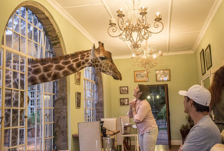 The first giraffe encounter at breakfast time at Giraffe Manor