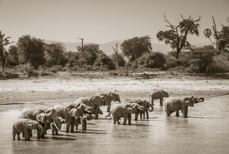 TUSKS, TRUMPETING & TWINS - The Safari Collection